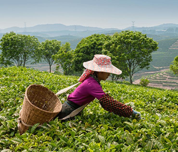 Toulky čajovou Čínou